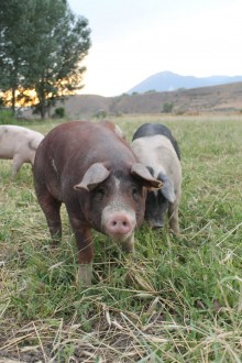 A photo of a brown pig in a pasture.