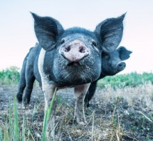A close up photo of a black and white pig.