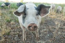 A photo of a white pig standing in a field with other pigs in the background.