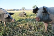 A photo of three pigs in a green pasture with blue sky behind.
