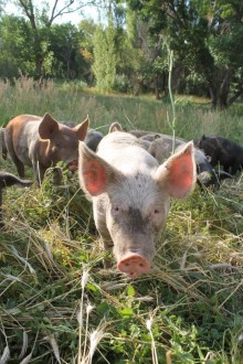 A photo of a pink pig with severl other pigs behind and some trees.