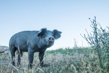 A photo of a black pig with chicory plant and large sky.