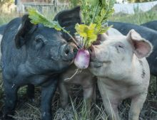 A photo of three pigs with thier noses holding a organically grown turnip.