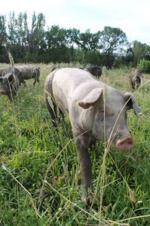 A photograph of a white free-range pig walking in a pasture with some other pigs behind.