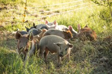 A picture of a group of young free-range piglets.