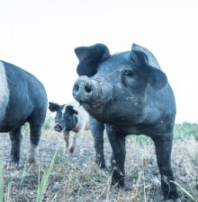A close up picture of a black pig with a black and white pig just behind it.