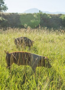 A photo of two free-range pigs almost hidden in tall grass the Rocky Mountains are visible in the background..
