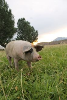 A picture of a pink pig in a green field with some trees and sun setting in the background. The location is Hotchkiss, Colorado.