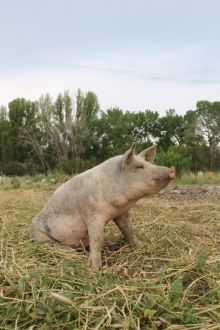 A pig sitting in a field with trees in the background.