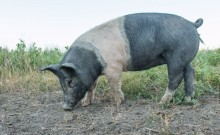 A large black and pink pig rooting on the ground for food.